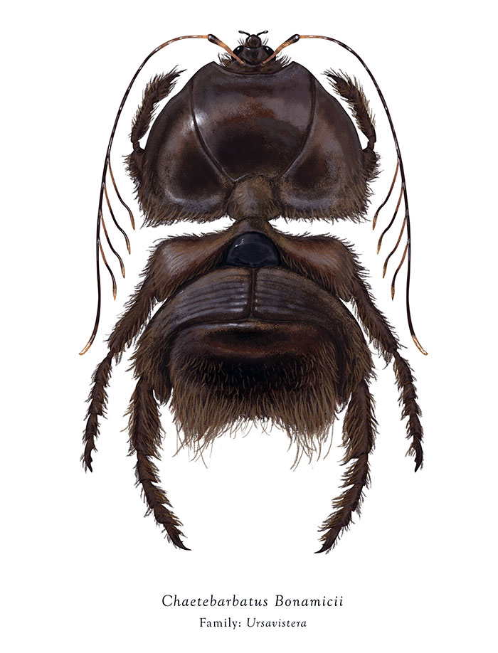 Chaetebarbatus Bonamicii/Chewbecca (Richard Wilkinson)
